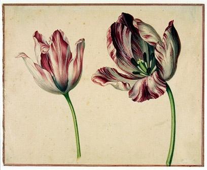 tulips botanicals